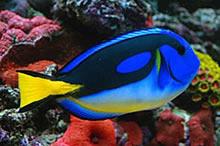 Blue-Tang-Yellow-belly.jpg