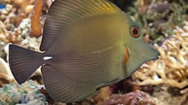 Brown-Sailfin-Tang.jpg