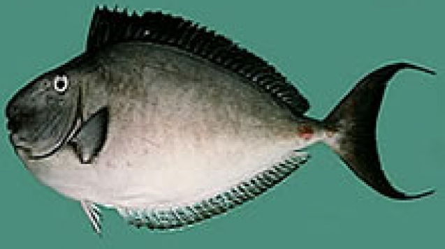 Horseface-unicornfish-big.jpg