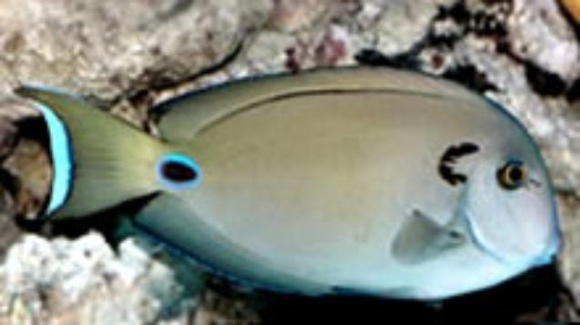 Lieutenant-Surgeonfish.jpg