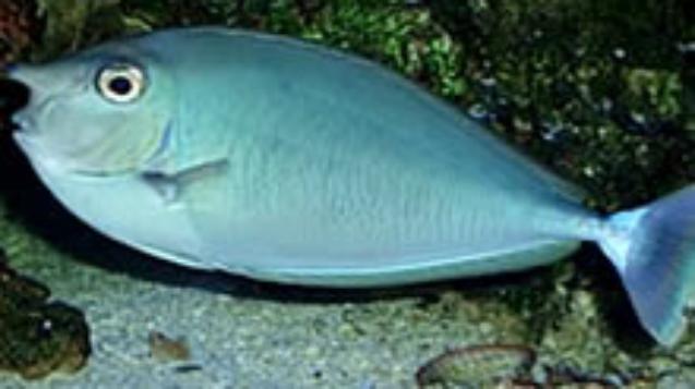 Spotted-Unicornfish.jpg