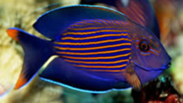 Striated-surgeonfish.jpg