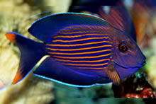 Striated-surgeonfish.jpg