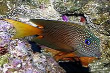 Twospot-surgeonfish.jpg